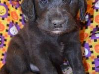 Genie is a F1 Labradoodle puppy and is the only female