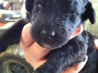 6 adorable Labradoodle puppies for sale! Born on