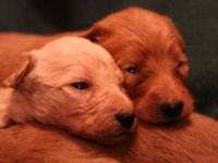 F1-b Labradoodles, Several reds, one cream. Now taking