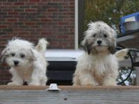 Adorable 2nd Generation Labradoodle Puppies ready for
