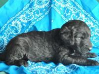 Labradoodle Puppies-Gorgeous coats, household raised,