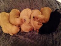 Taking deposits now on F1 labradoodle puppies. The