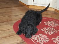 We are expecting a litter of F1 Labradoodle puppies
