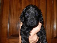 labradoodle puppies mother is purebred registered lab
