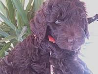 3 stunning chocolate Labradoodle puppies ready for