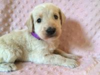 We have a litter of gorgeous Labradoodle puppies, both