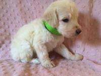 We have a Beautiful litter of labradoodle puppies!!