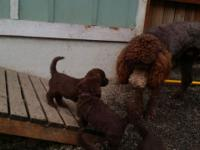 Chocolate colored Labradoodles .2 males 3 females.vet