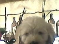 Have two beautiful male Labradoodle puppies,