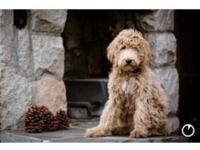 Fourth-generation Labradoodle puppies. Full fleece coat
