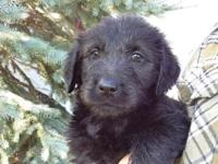 These are beautiful black Labradoodle puppies that are