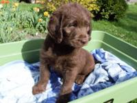 Available now! 6 Gorgeous Standard Labradoodle