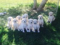 Beautiful cream F-1 Labradoodle puppies available July