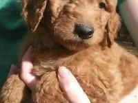 F1B Labradoodles are the most likely doodle to be