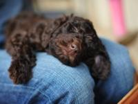 All colors!! Labradoodles F1B Mini?s & Standards ;0)