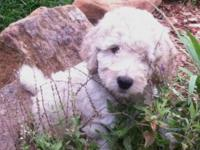 F1b-F2b LABRADOODLE Due April 2015 Taking Deposits Now