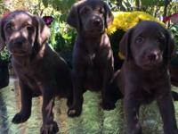 I have a litter of standard size Labradoodle puppies