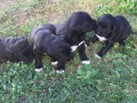 These pups were bornSeptember 7, 2015 and will be ready