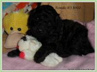 Puppies Have arrived July 15th 2013~ *1 boy* Black with