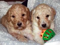 LABRADOODLE PUPPIES! We have beautiful medium size