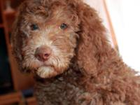 LABRADOODLE puppies available now! They are non