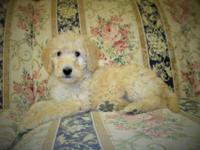 Labradoodle young puppies F1b Low to non-shedding and