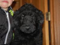 LABRADOODLE PUPPY- 12 WEEKS OLD BLACK MALE CURLY UP TO