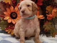 We have 4 stunning labradoodle young puppies for sale.