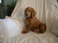 One male F1B labradoodle puppy. Ready for his new home.