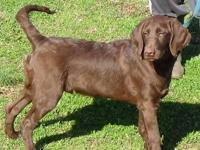 We have 2 F2b male chocolate labradoodle puppies