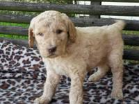 This puppy is F3 3rd generation Labradoodle. Both