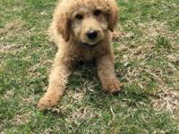 Rubble is a tan multi generation labradoodle and is