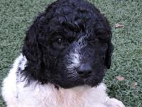 F1bb Labradoodles. Mom is a 45 pound chocolate and