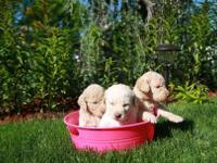 We have a new litter of Labradoodle puppies They are