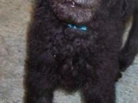F3 Labradoodle: Beautiful little boy with a Black with