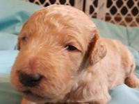 F3 (multi generation) Labradoodle: Beautiful little boy