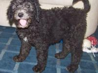 F3 Multi Generation Black Labradoodle! Beautiful little