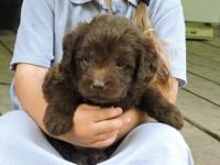 Hershey is a chocolate F1 mini Labradoodle. His Dad is