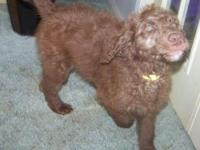 F3 Chocolate Labradoodle: Beautiful little girl with a