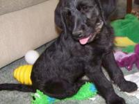 F3 Labradoodle: Beautiful little boy with a low