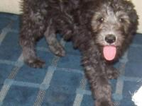F1B Standard Labradoodle: Beautiful little girl with a