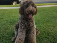 Labradoodle Rehome Fee $1,899 Mom (Hershey) is a