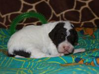 We have 1 male tricolor F2b Labradoodle from our exotic
