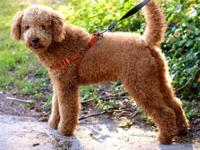 Adorable Caramel Double Doodle Female (the smallest of