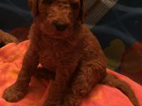 Labradoodles born 4/6 & ready for homes 6/1/19. 3