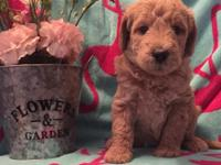 Labradoodles born 4/6 & ready for their forever homes