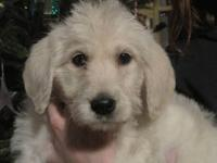 Gorgeous cream colored male labradoodle pup. Raised in