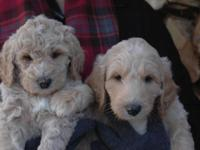 Multigen Labradoodle PupsReady to go house March 2nd @