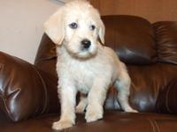 We have a stunning clutter of Labradoodle puppies out