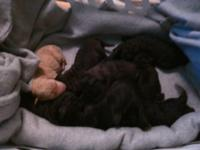 Labradoodle puppies born on 7/13. Mom is a silver AKC